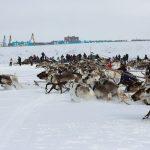 На старте оленям важно не запутаться в собственной упряжи и не увязнуть в снегу. На старт вышли 58 мужских упряжек
