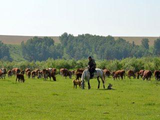 Вот они, «герифорды» - коровки «мясной породы»
