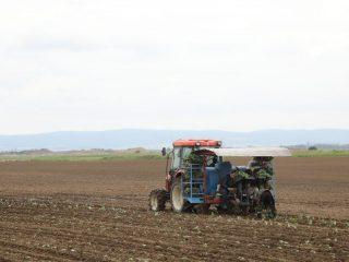 СПК «Аленушка» ежегодно засевает капустой 10 га земли