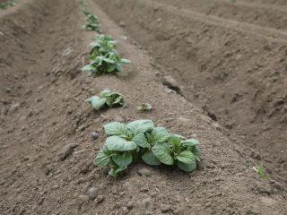 2020 год уникальный. На памяти сибирских сельхозтоваропроизводителей еще не было случая, когда в конце мая картошка была готова к окучиванию
