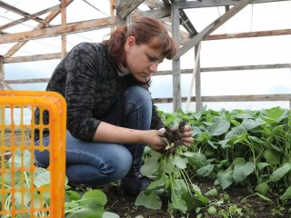 В теплице хозяйства готовят новую партию капустной рассады для отправки в поле