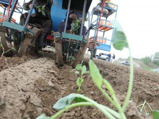 Каждый кустик капусты рассадопосадочная машина закапывает в отдельную ямку, предварительно наполняя ее водой с удобрениями