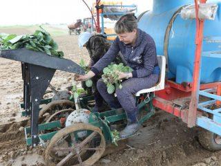 Чтобы посадить огромное поле достаточно двух женщин, подающих кустики рассады в «щипцы» машины