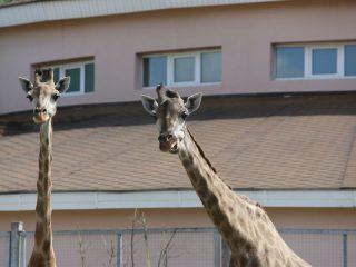 Жирафики - девочки.