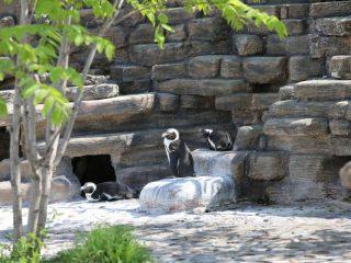 Пингвины сидят на берегу бассейна. Завидуем их бытовым условиям.
