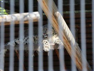 Самка снежного барса по кличке Аксу — сокровище зоопарка. Это редкие животные. Дикая кошка потеряла часть задней лапы из-за браконьерского капкана. Случай спас жизнь молодой кошке: ослабленная, она попала в ловушку егерей Саяно-Шушенского заповедника в рамках программы восстановления численности. Из-за травмы была направлена в «Роев ручей». Ветеринары сделали Аксу операцию, она себя хорошо чувствует, но жить сможет только в условиях вольера. Теперь задача зоологов — получить от Аксу потомство для пополнения заповедника.
