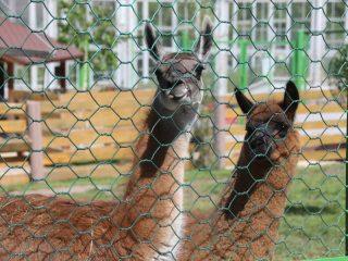 Знаменитая мама и ее ребенок - помесь гуанако и альпаки.