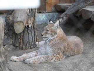 Рысей в зоопарке - несколько видов.
