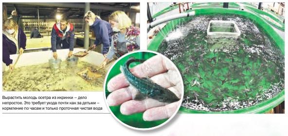 Ванкор пополняет рыбные запасы Енисея | Наш Красноярский край