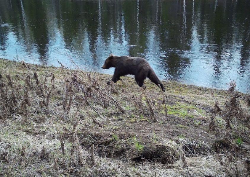 >В парке «Ергаки» Красноярского края медведь опять задрал туриста