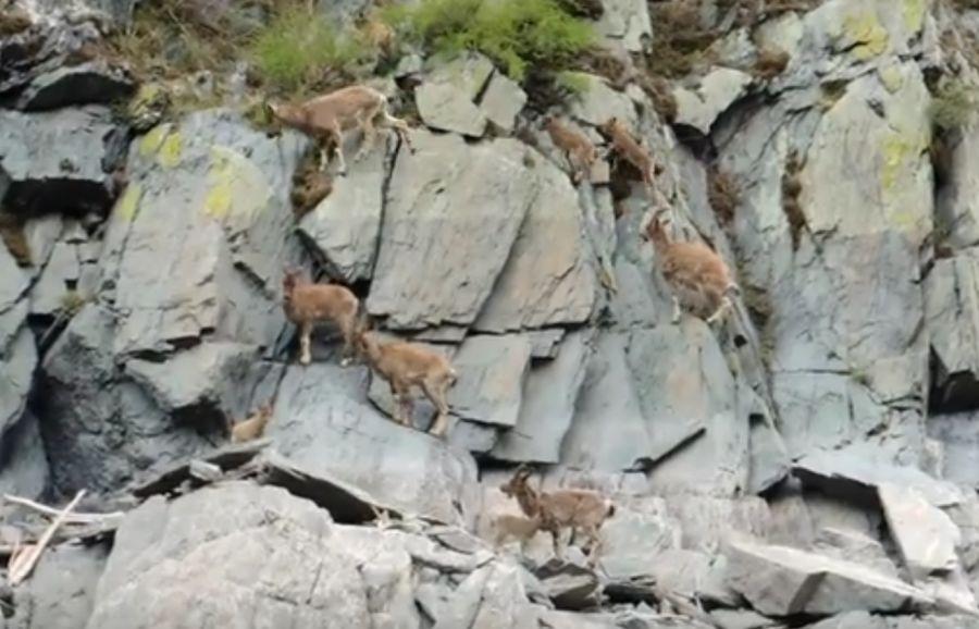 В заповеднике «Саяно-Шушенский» козлята показывают мастер-класс по скалолазанию