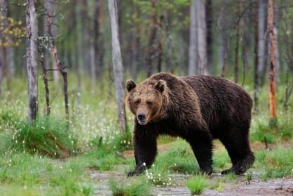 СК проводит проверку после нападения медведя на группу туристов в Ергаках