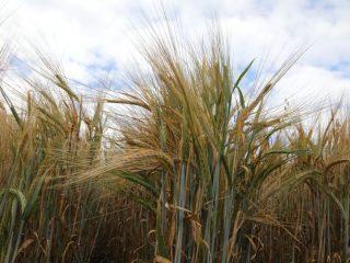 Благодаря грамотному земледелию и достижениям науки краевые аграрии показывают рекордные результаты. В прошлом году урожайность зерновых и зернобобовых составила 28,8 центнеров с гектара. Это рекорд за всю историю края. А урожай рапса уже два года подряд лучший в стране – в 2020-м собрано 270 тысяч тонн