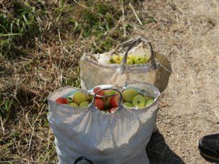 Самые крупные яблоки и спелые ранетки уже собраны