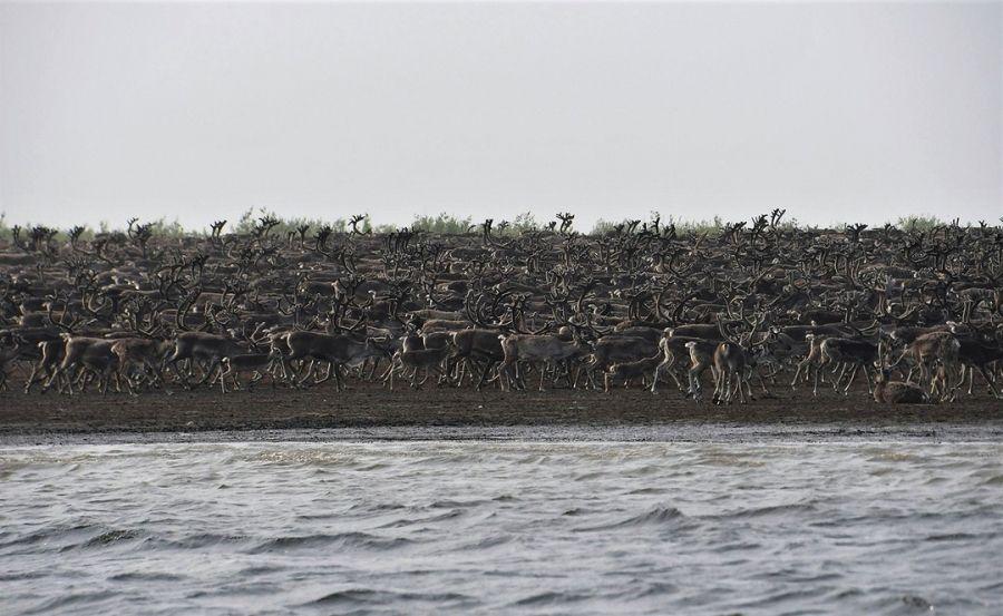 >Ученые сняли переправу через Хатангу десятков тысяч северных оленей