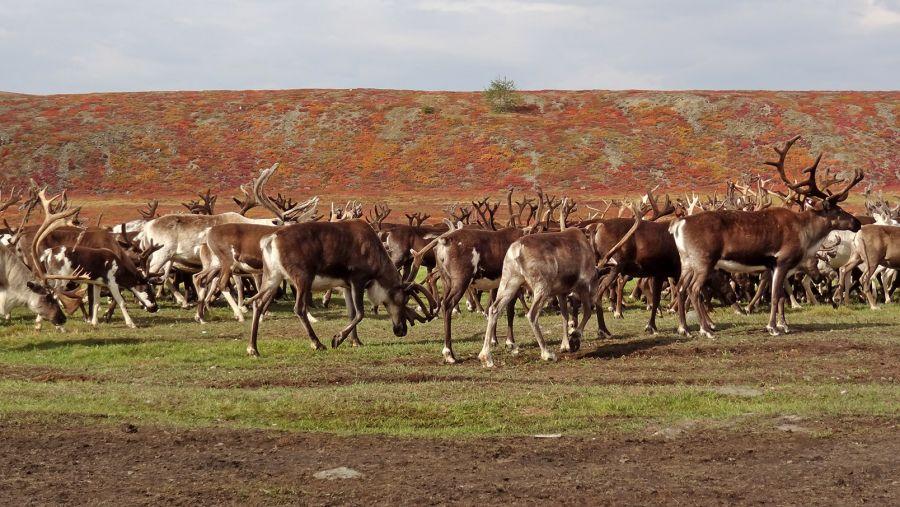 На Таймыре введен режим чрезвычайной ситуации из-за массовой гибели оленей